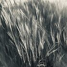 Sun on Rye in Black and White. by Billlee