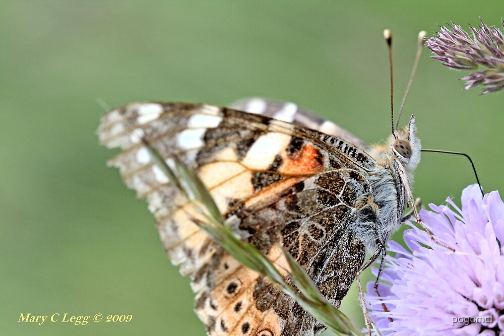 Painted Lady, Vanessa cardui by pogomcl