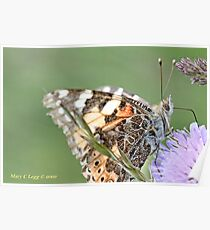 Painted Lady, Vanessa cardui Poster