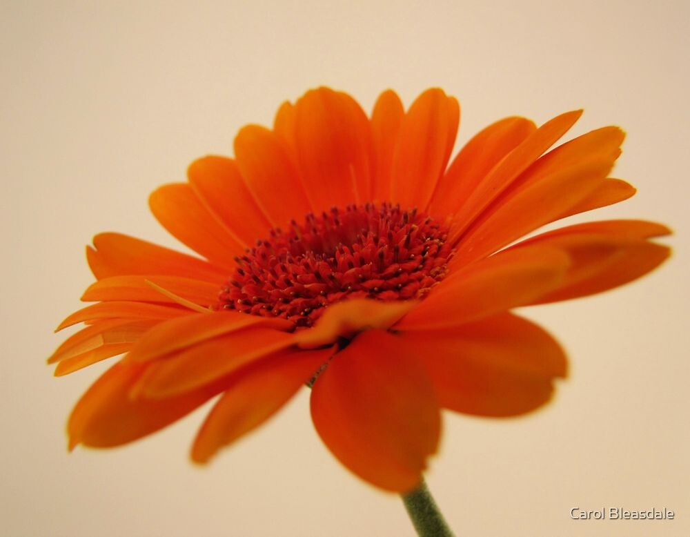 Orange Gerbera by Carol Bleasdale