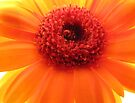 Heart of a Gerbera by Carol Bleasdale