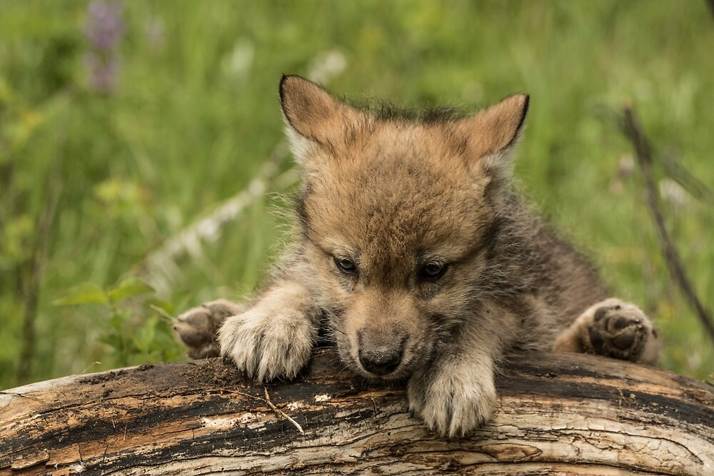 Baby Gray Wolf by Matthew Kochel JJ In A Jayco