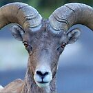 Big Horn Sheep by Betsy  Seeton