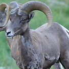 Bighorn Sheep by Betsy  Seeton