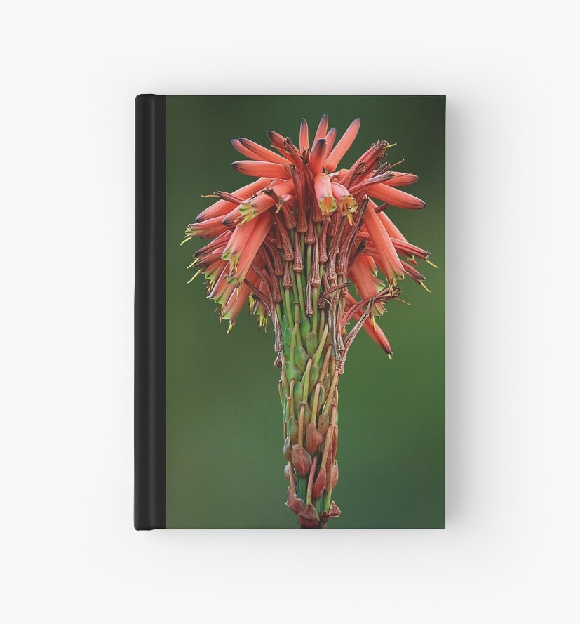 Aloe arborescens flower head by Magee