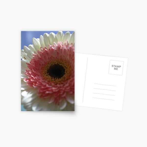 Pink-white gerbera Postcard