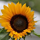 Lonely Sunflower  by Karina  Cooper