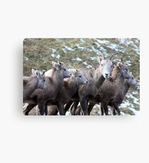 Mountain Sheep Herd Canvas Print