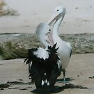 Mating Pelicans on Shelly Beach. by Mywildscapepics