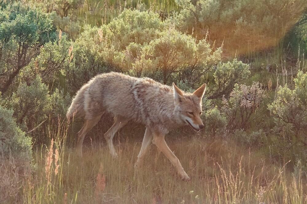 Coyote at Dusk by Matthew Kochel JJ In A Jayco