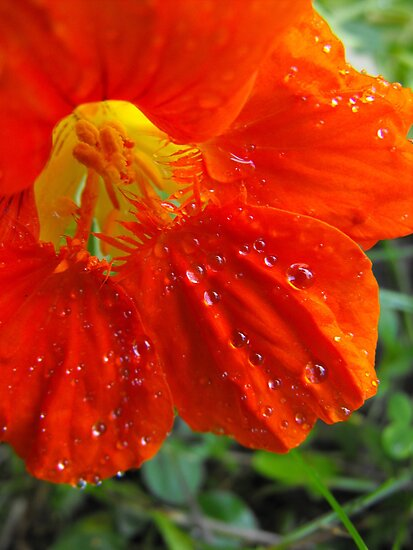 Nasturtium  After A Heavy Down Pour by Tracy Wazny