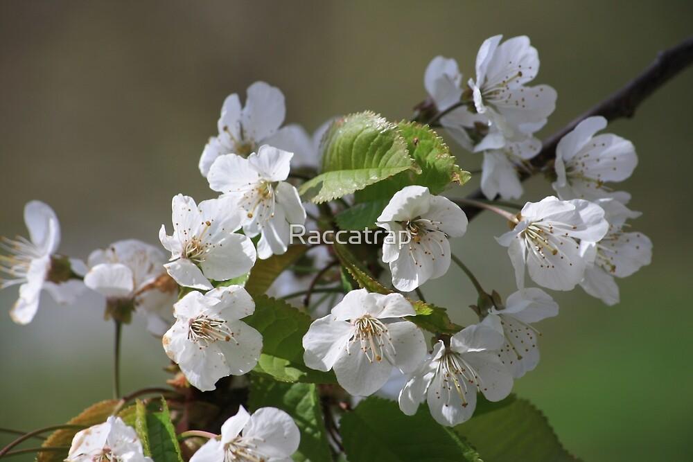 Blossom  by Raccatrap