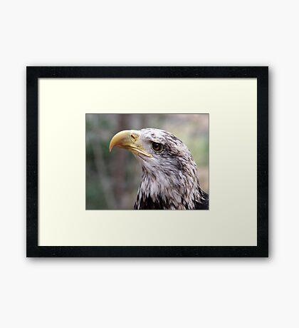 Adler Framed Print