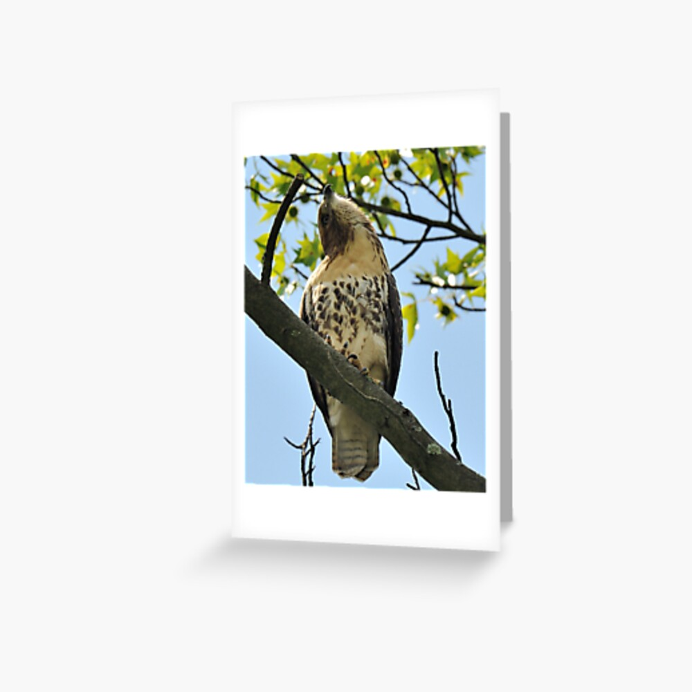Red Tailed Hawk Juvy Greeting Card