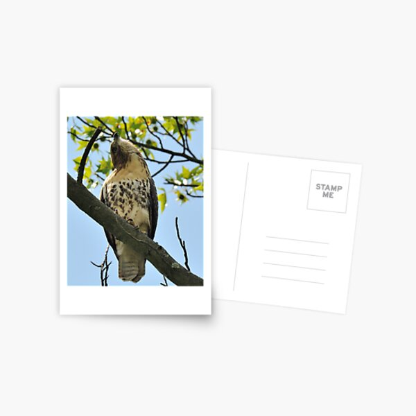 Red Tailed Hawk Juvy Postcard