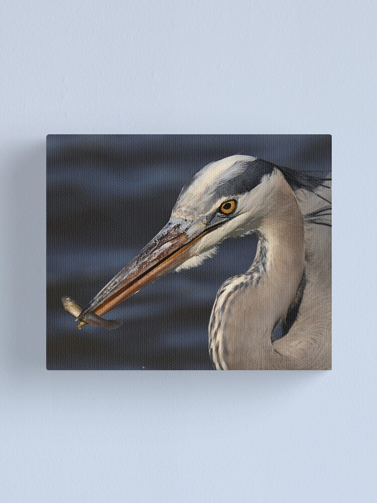 Alternate view of Great Blue Heron with minnow Canvas Print