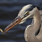 Great Blue Heron with minnow by angelcher