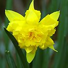 Yellow Bloom by Abhijeet Basu