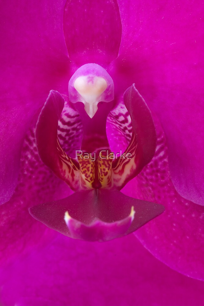 Orchid by Ray Clarke