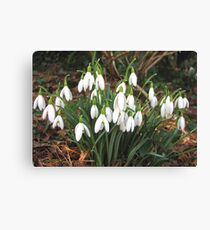 Snowdrops in my Garden Canvas Print