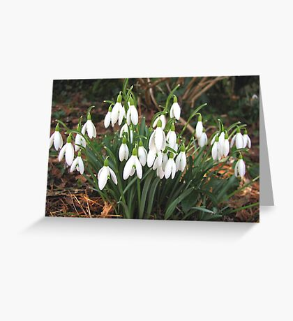 Snowdrops in my Garden Greeting Card