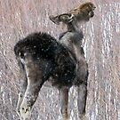 Mangy Moose Time of Year by A.M. Ruttle