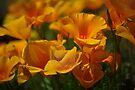 Burst of Spring - Mexican Poppies by Vicki Pelham