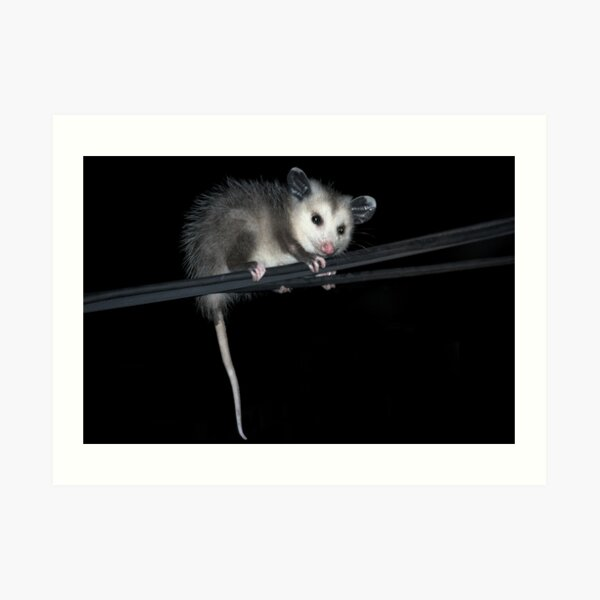 Baby Opossum Doing High Wire Act Art Print