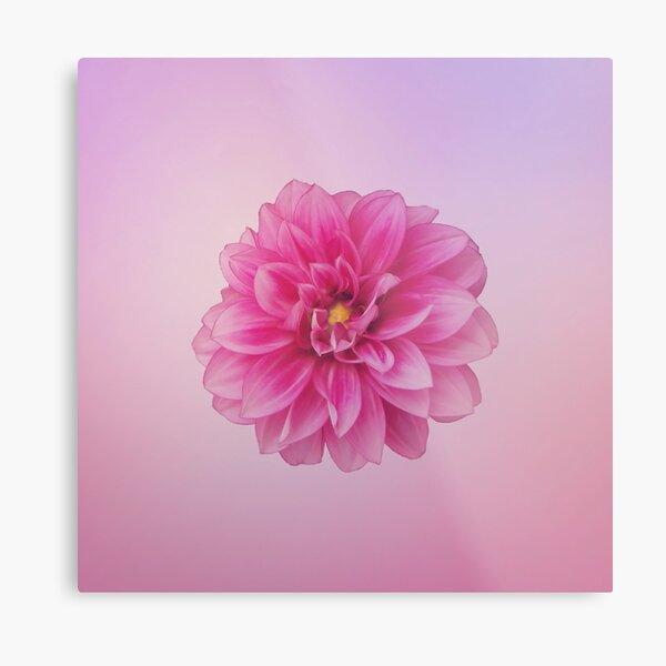 Dahlia Beauty On Pastel  Pink Metal Print