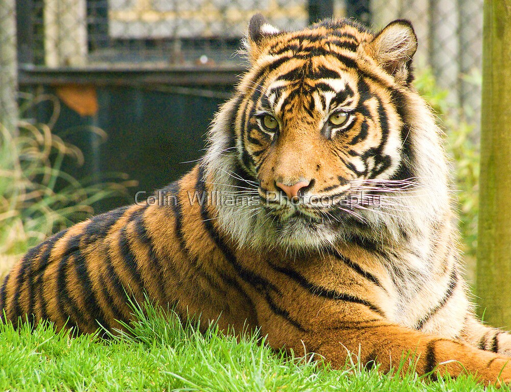 Magestic Tiger by Colin  Williams Photography