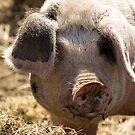 Porker Patrol by Ken Humphreys
