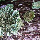 Lichen #1 by Virginia McGowan