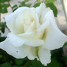 Weiße Rose von Ana Belaj