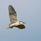 Black Crowned Night Heron (II) by DonMc