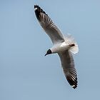 Brown Winged Gull in Flight by DonMc