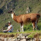 Llama at Machu Picchu by Elena Vazquez
