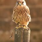 Kestrel by BigAl1