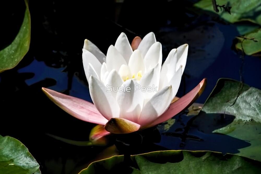 Water Lily by Susie Peek