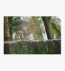 Robin on the run Photographic Print