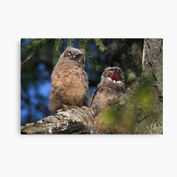 Owlet Siesta Canvas Print