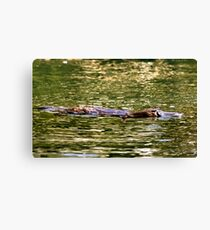 Platypus at surface of creek Canvas Print