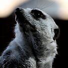 Meerkat portrait by Kelly Robinson