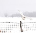 The Landing - Snowy Owl by Jim Cumming