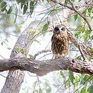 Boobook owl by Sarah Guiton