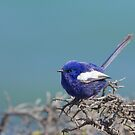 White winged fairy wren 1 by Sarah Guiton