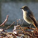 Black Redstart by Kevin Cotterell