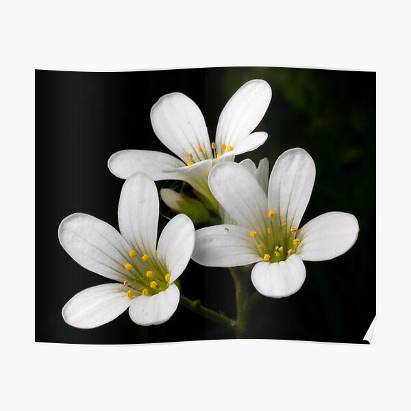 Meadow Saxifrage Poster