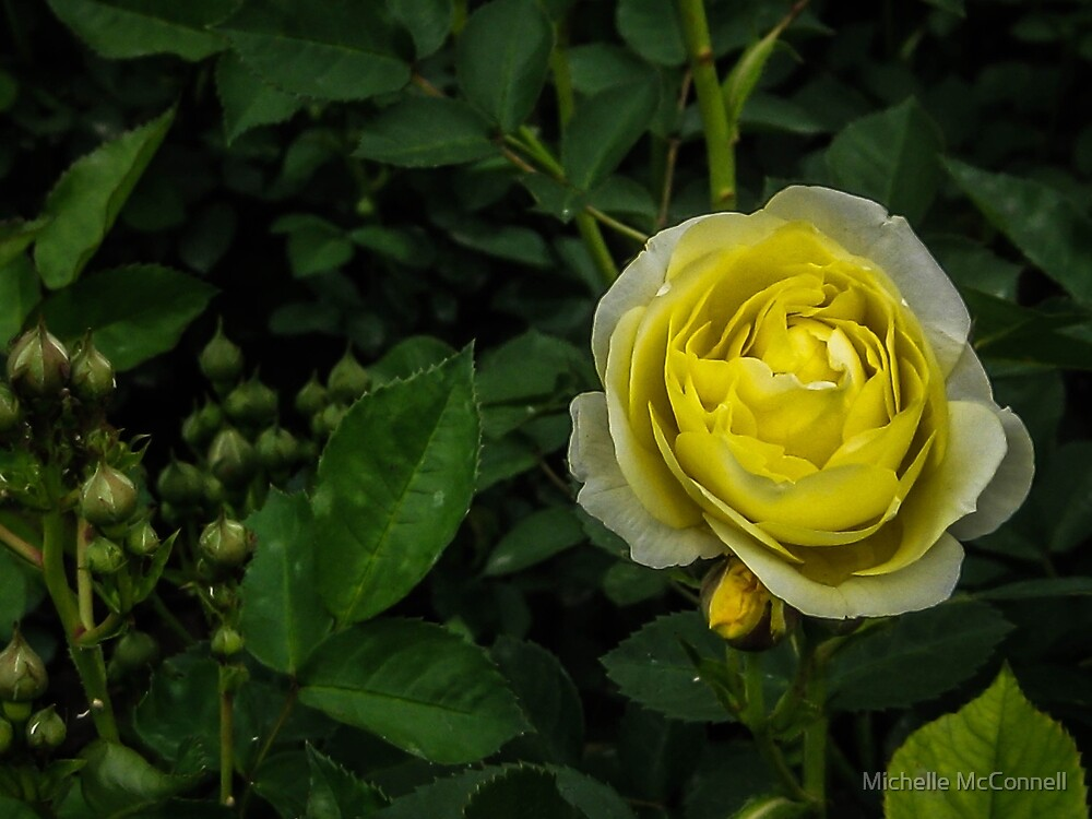 Yellow Rose by Michelle McConnell