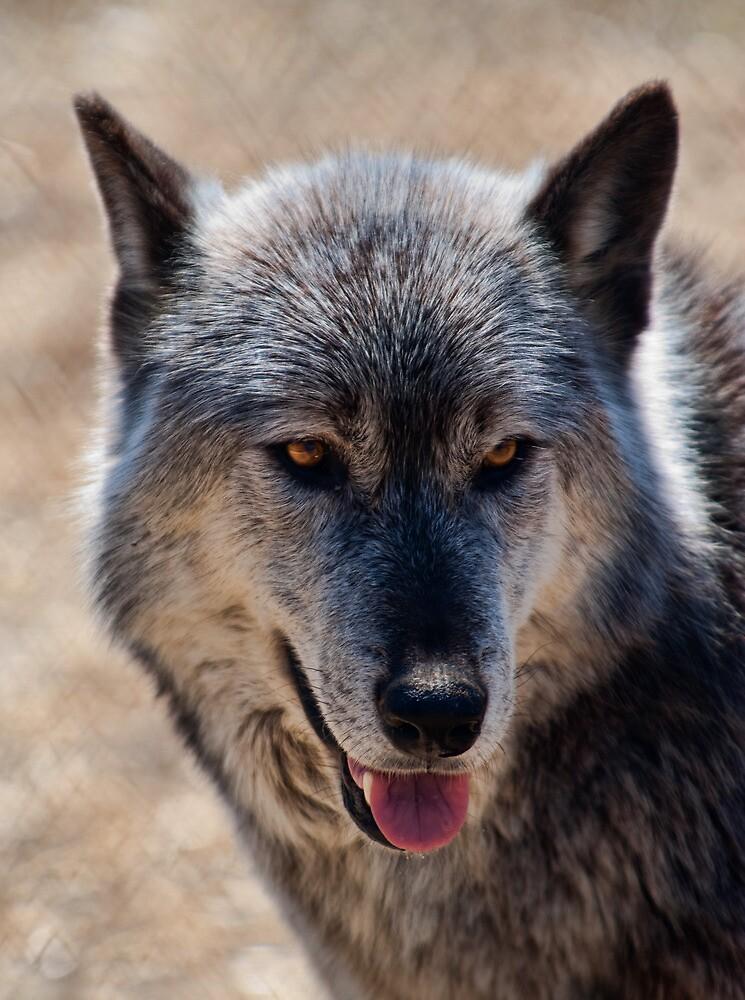 Grey Wolf by Jean-Pierre Ducondi
