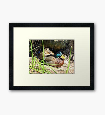 Mallard Ducks ~ Pair Framed Print